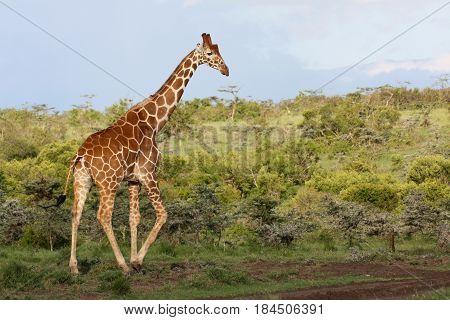 A reticulated giraffe (Giraffa camelopardalis) walks among green bushes.