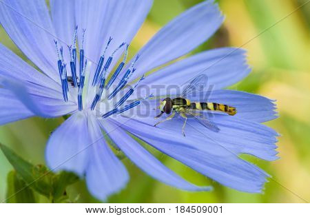 Little species of wasp in search of morning moisture on the chicory flower.
