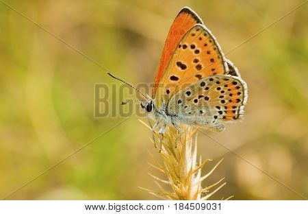 Orange butterfly with spotted wings having rest on a spikelet.
