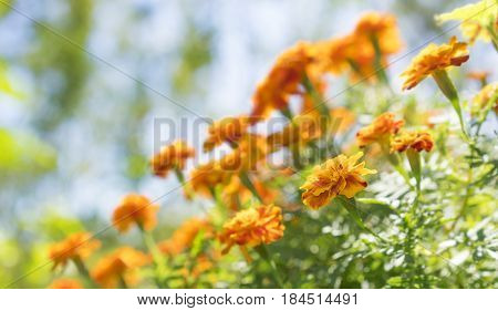 Bright yellow and orange marigolds growing in garden on a sunny day