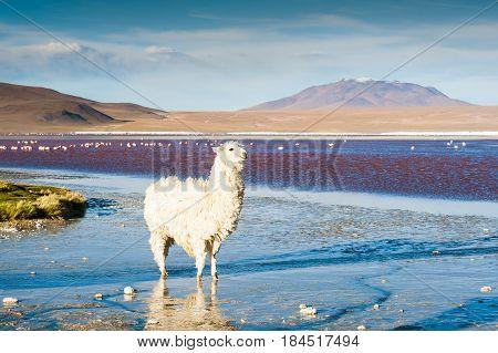 White alpaca on the Laguna Colorada at sunset Altiplano Bolivia. Selective focus