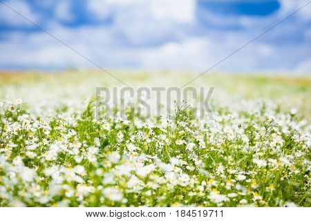 Beautiful field of daisy flowers on sunny summer day. Daisies meadow in spring. Wild chamomile flower scenery. Country landscape with chamomiles. Green grass and blue sky. Idyllic nature background.