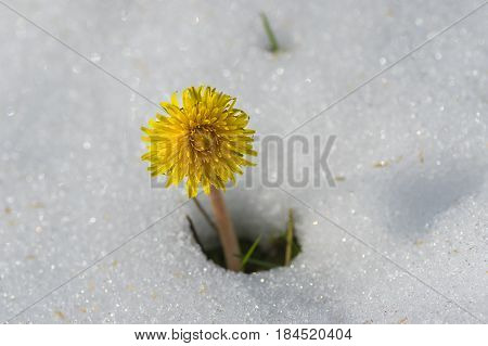 Lonely dandelion appearing from snow after unexpected snowfall in Dnepr city Ukraine