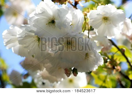 Sakura flowers blooming. Beautiful White cherry blossom