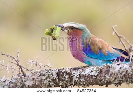 A lilac-breasted roller (Coracias caudata) perches with a captured caterpillar in its beak. Ol Pejeta Conservancy Kenya.