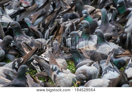Big bevy of pigeons looking for food in park