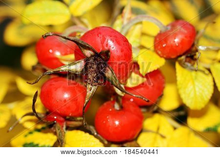 Ripe, bright berries of rose hips. Image rosehip on a background of yellow autumn leaves. Horizontal location.