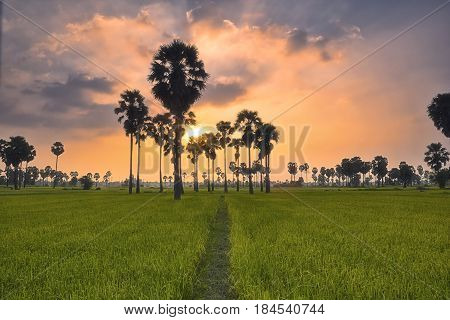 Sunset over rice field with sugar palm tree at Phetchaburi Thailand