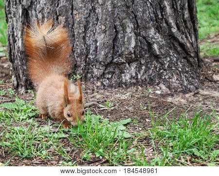Red-haired Furry Squirrel Jumping In Green Bright Grass And Look
