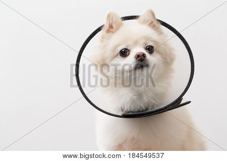 Pomeranian with space collar
