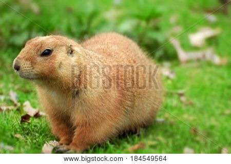 Praire dog in nature. black-tailed prairie dog (Cynomys ludovicianus) is Sciuridae. Animal from America ( Canada - Mexico).