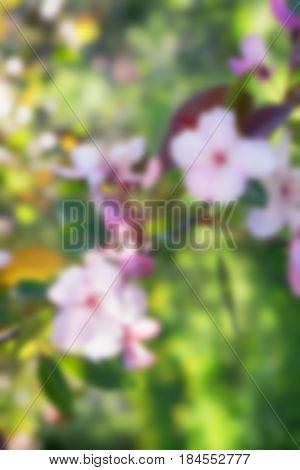 Blurred closeup of pink flowers of Chinese flowering crabapple defocused backgraund