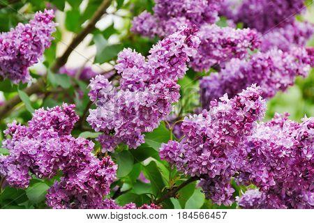 Lilac flowers blooming on lilac tree (Syringa vulgaris)
