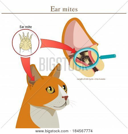 Veterinary Medicine. Cat Ear Mites Vector Illustration. Ear Mites In Animal. Spread Of Infection. Types Of Parasites In Cats Vector.