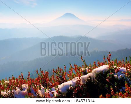 Snow In Ink Red Blooming Of Heather Bush On Cliff In Park. Hilly Countryside With Long Valley Full O