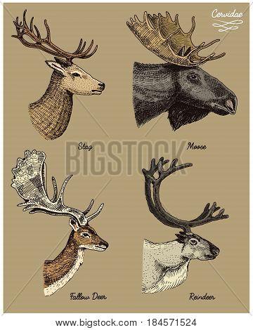 reindeer, moose, eurasian elk, doe roe deer and stag vector hand drawn illustration, engraved wild animals with antlers or horns vintage looking heads side view.