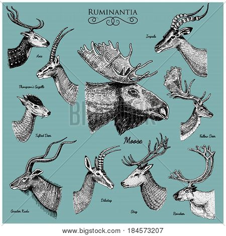 Big set of Horn, antlers Animals moose or elk with impala, gazelle and greater kudu, fallow deer reindeer and stag, doe or roe deer, axis and dibatag hand drawn, engraved.