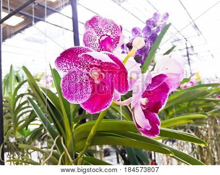 Beautiful violet orchid in garden ,Bangkok ,Thailand