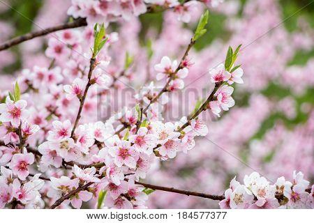 Flowering Spring Almond Tree