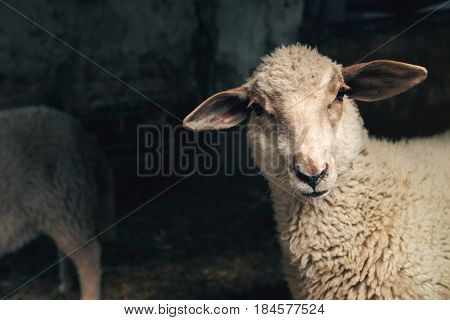 Sheep lamb in farm barn livestock and agriculture theme
