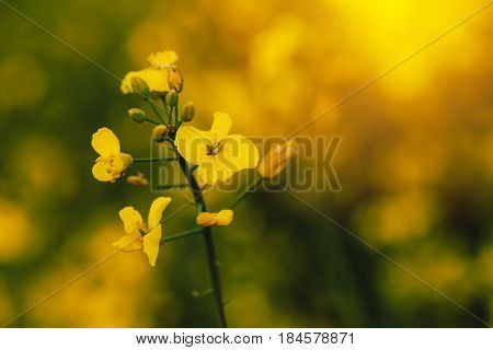 Rapeseed canola flower oilseed rape blooming on cultivated field