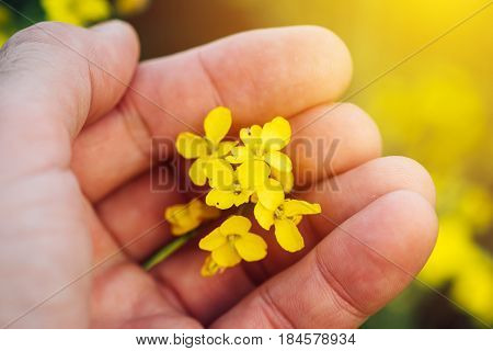 Rapeseed canola flower in farmers hand growing cultivated oilseed rape crops
