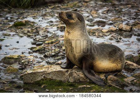 Antarctic Fur Seal Lying On Moss-covered Rocks