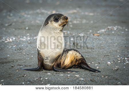 Antarctic Fur Seal Sits On Sandy Beach