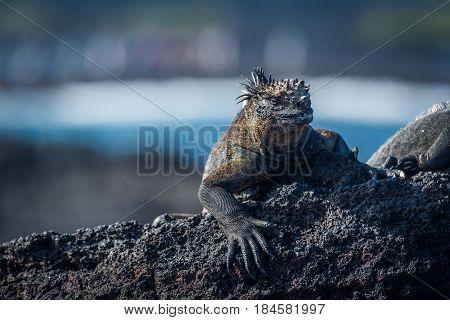 Marine Iguana Sunbathing On Black Volcanic Rock