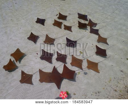 squadron of stingrays swimming in tight formation