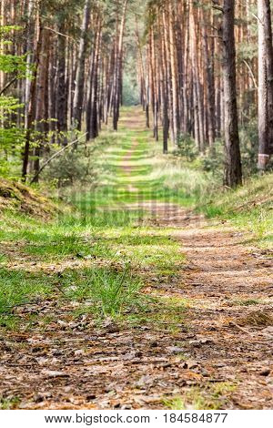 Straight Path Through Spring Pine Forest