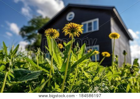 Abstract view from bottom on yellow dandelions in the grass in sunlight against the background of a wooden two-story house and a blue sky with clouds