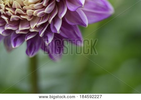 Selective Focus of Pink Dahlia Flower in Springtime