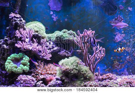 Reef tank, marine aquarium. Blue aquarium full of plants. Tank filled with water for keeping live underwater animals. Gorgonaria, Sea Fan. Clavularia. Zoanthus. Zebra apogon. Zebrasoma. Percula.