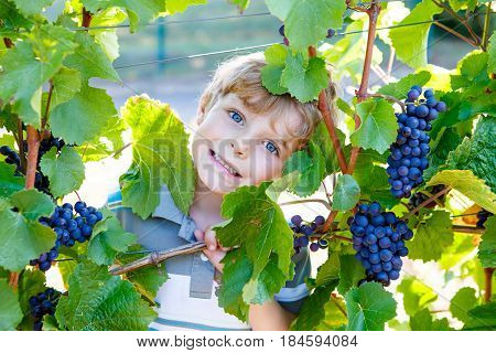 Smiling happy blond kid boy eating ripe blue grapes on grapevine background. Child helping with harvest. Germany, vineyard near Mosel and Rhine.