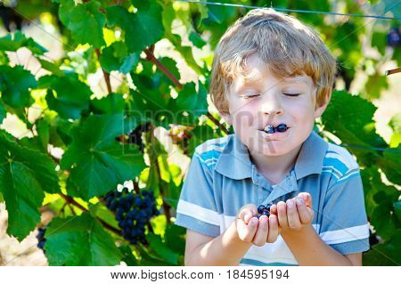 Smiling happy blond kid boy eating ripe blue grapes on grapevine background. Child helping with harvest. Spain or Portugal, famous vineyards
