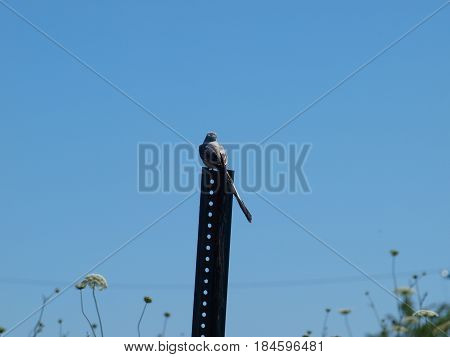 A scissors tail flycatcher sits atop a pole overlooking a wildflower meadow shopping for lunch.