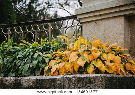 Close up of green and yellow leaves of hosta or funkia
