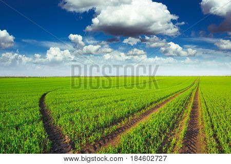 Green pea field and blue sky background