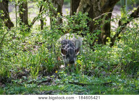Careful Hairy Pig Comes Out Of The Bushes