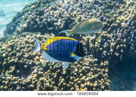 Powder blue surgeonfish (Acanthurus leucosternon) swimming around the reef