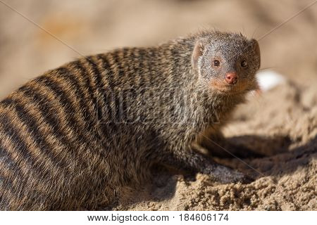 Close up view of the yellow mongoose on sand.