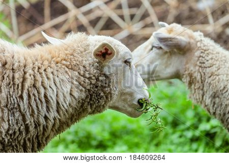 Grazing sheep. Head of the animal eating the green stalk. Farm animals scene with limited depth of field.