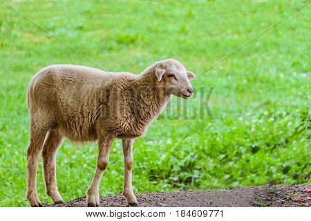 Little lamb on a background of green grassy meadow. Agricultural scene with limited depth of field.