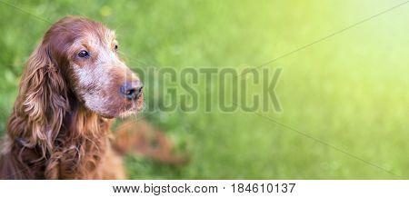 Web banner of a cute old Irish Setter dog