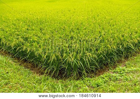 Green Rice Field Ready To Havest In Aso, Japan