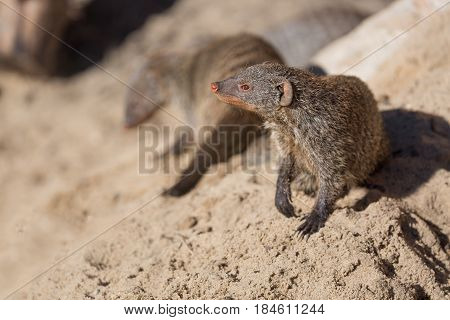 Close up view of the yellow mongoose group on sand.