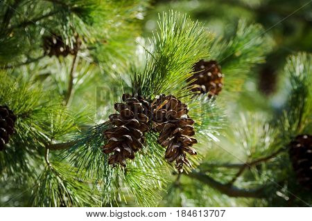two in the center cone on spruce branches, a view from the bottom up,  spring, summer,beautiful view, bright day, sunny