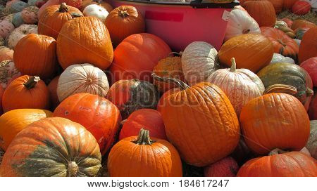 A pile of pumpkins in a patch