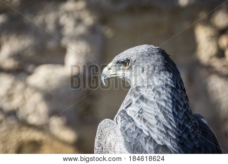 Black-chested Buzzard-eagle Or Geranoaetus Melanoleucus